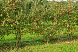 ochrona jabłoni