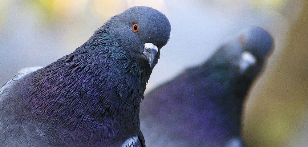 Największa wystawa gołębi na koniec stycznia