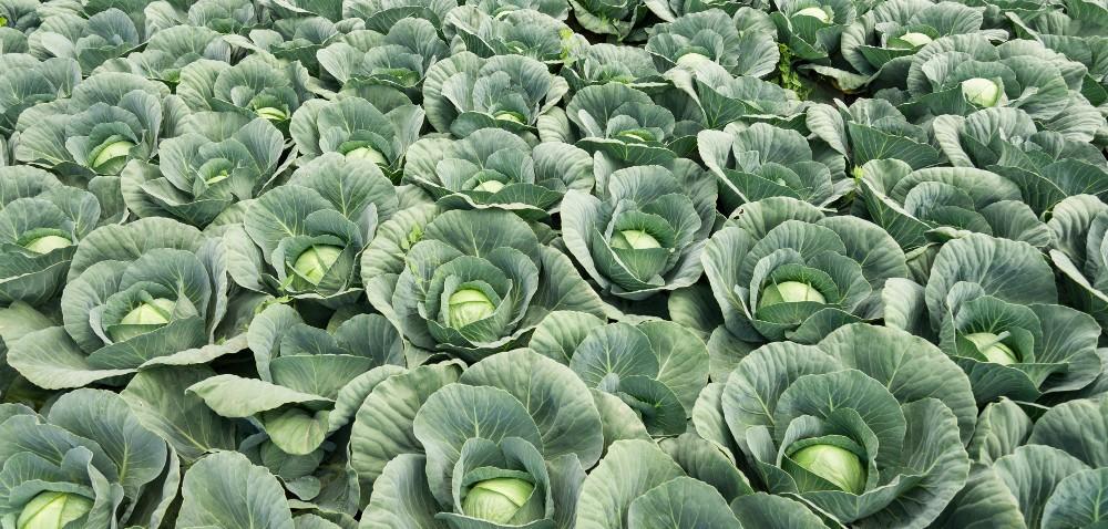 Ważniejsze choroby warzyw kapustnych iśrodki ochrony