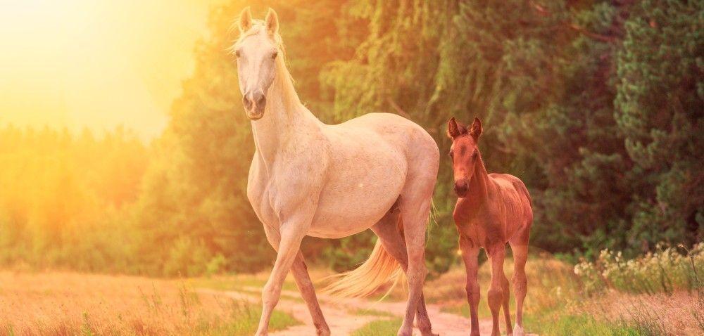 Konie: na co zwrócić uwagę przy odchowie źrebiąt?