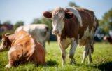 kondycja krów mlecznych