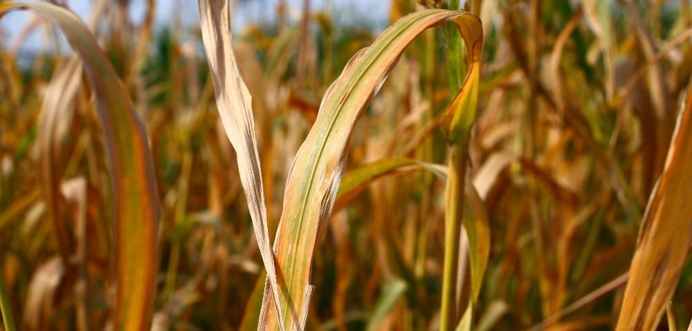 Agro Akademia BASF: czy można pokonać suszę?