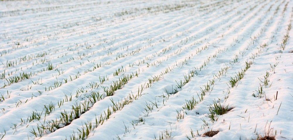 Siarczysty mróz: jakie będą konsekwencje dla upraw?
