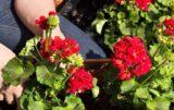 ochrona roślin ozdobnych