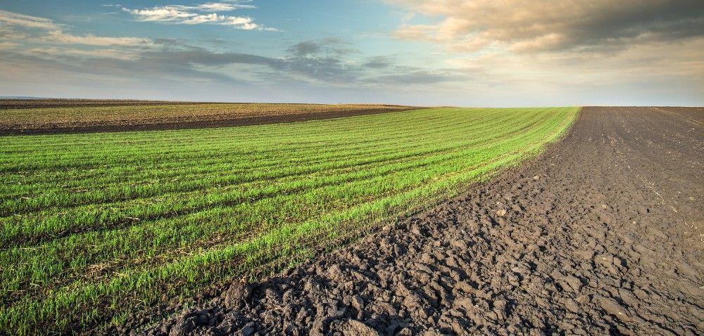 Zboża przewódkowe: termiczne wymagania pszenicy