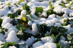 Śnieg uchroni uprawy.