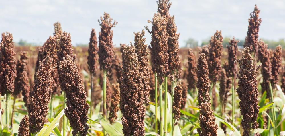 Sorgo cukrowe wprodukcji bioetanolu