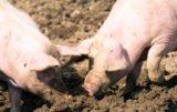 odstrzał dzików a ubój świń