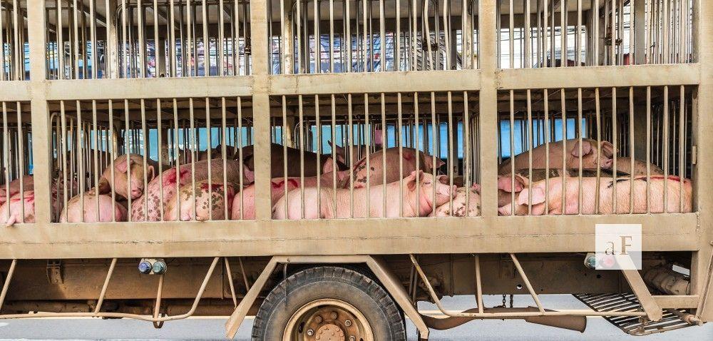 Transport zwierząt – oczym trzeba pamiętać?