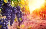 zbiory winogron