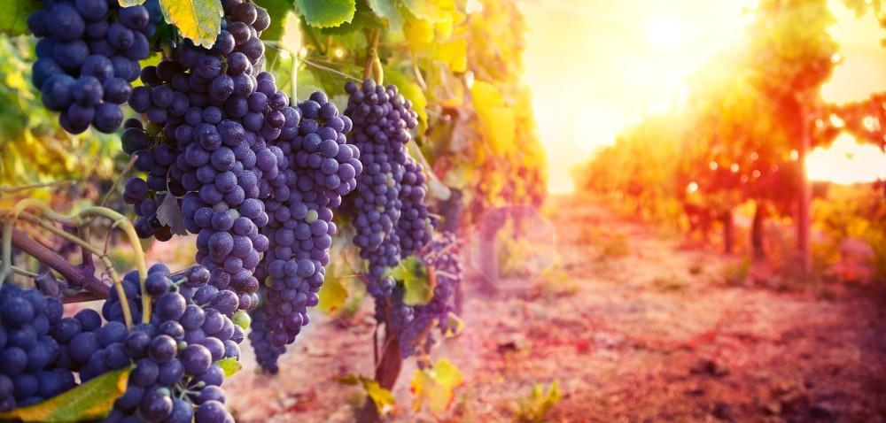 Zbiory winogron: kończy się czas na złożenie deklaracji