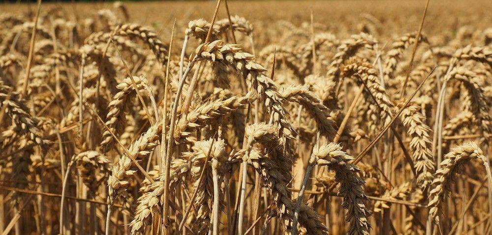 2016: możliwa wyższa produkcja zbóż