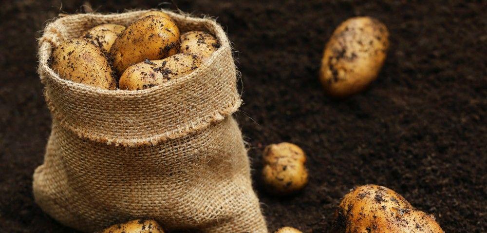 Ziemniaki: więcej upraw, mniejsze plony, kiepska jakość