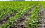 co przed siewem kukurydzy