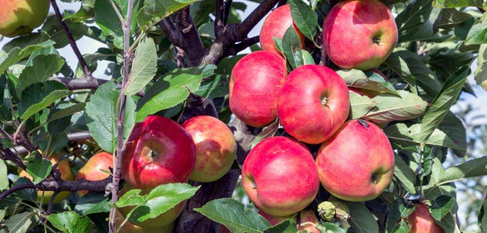 Zbiory jabłek 2021. Sadownicy rezygnują zprodukcji?