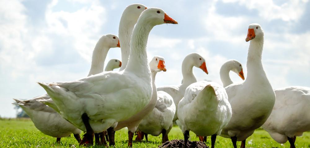 PROW 2014–2020 nie wspiera hodowców drobiu