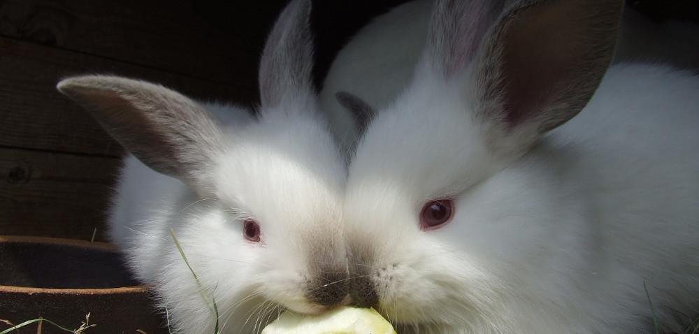 Hodowla królików bez tajemnic