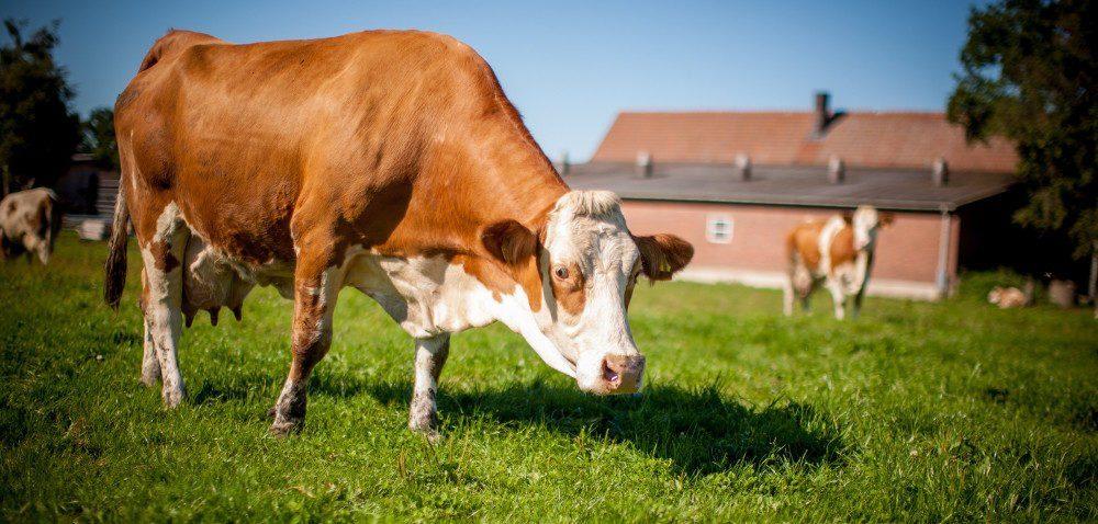 Żywienie bydła: amoże mikrogranulaty?