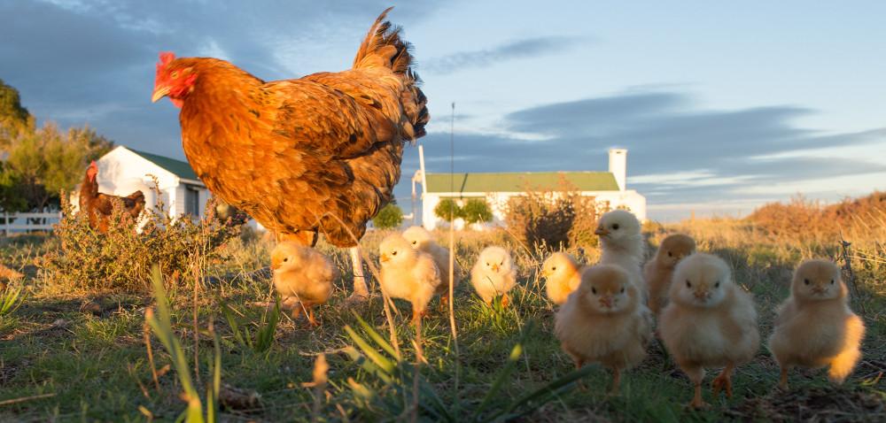O czym nie można zapomnieć przy rozrodzie kur?