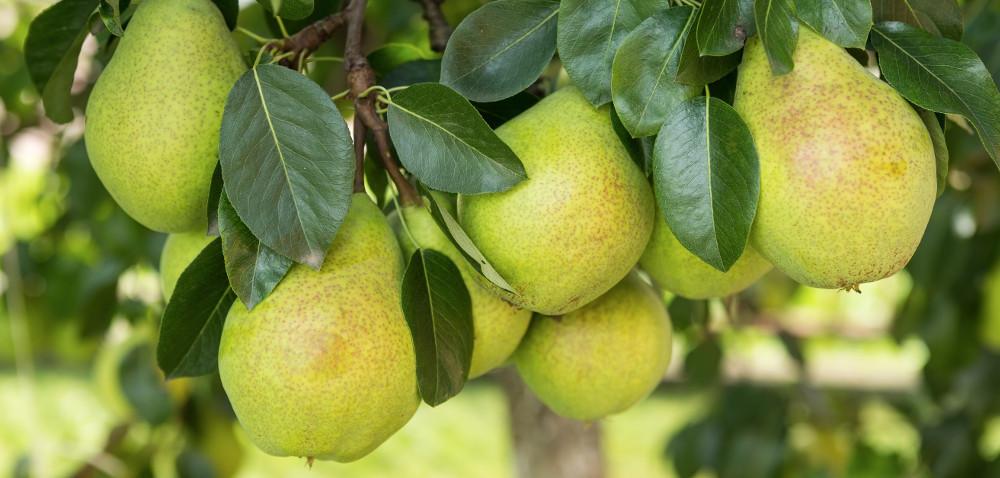 Jak zapobiegać uszkodzeniom sadów gruszowych przez owady?