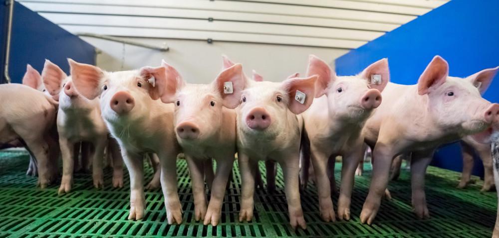 Wsparcie nie dla wszystkich producentów świń