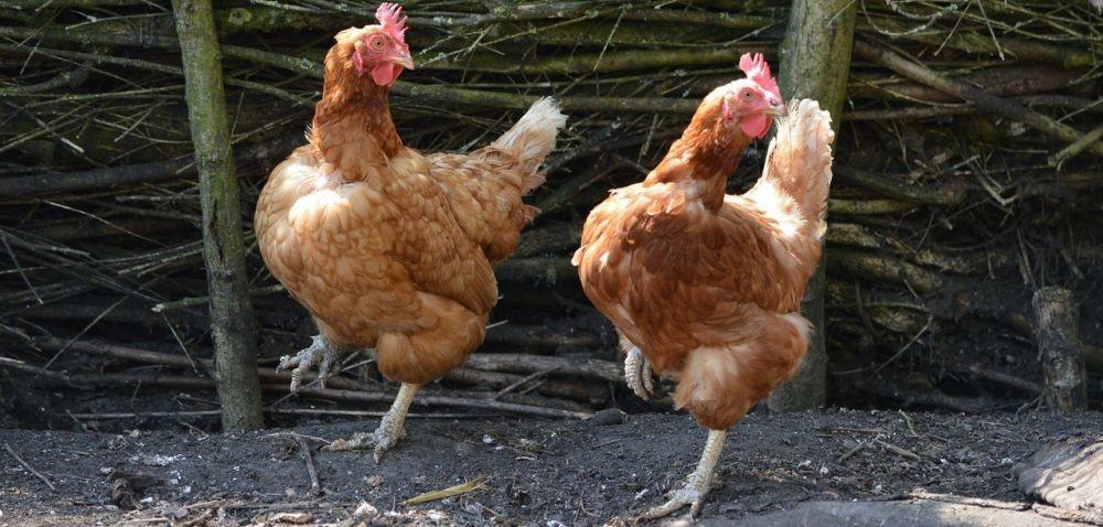 Rolniku, zarób na adopcji kury