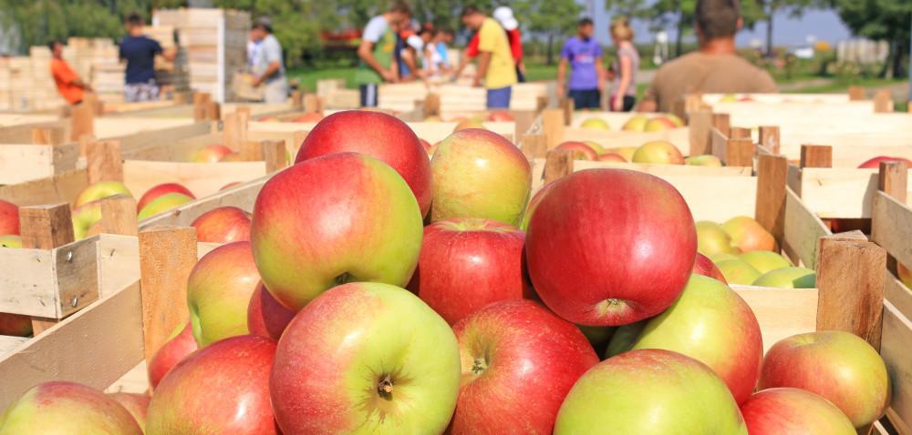 Jabłek jest pod dostatkiem, ale…