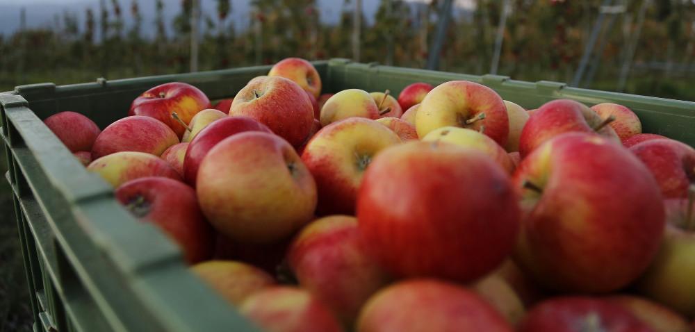 Wszystkich polskich jabłek nie da się zjeść. Co dalej?