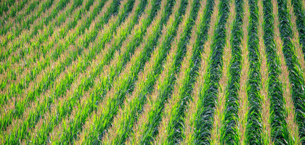 Kukurydza: naturalne nawożenie