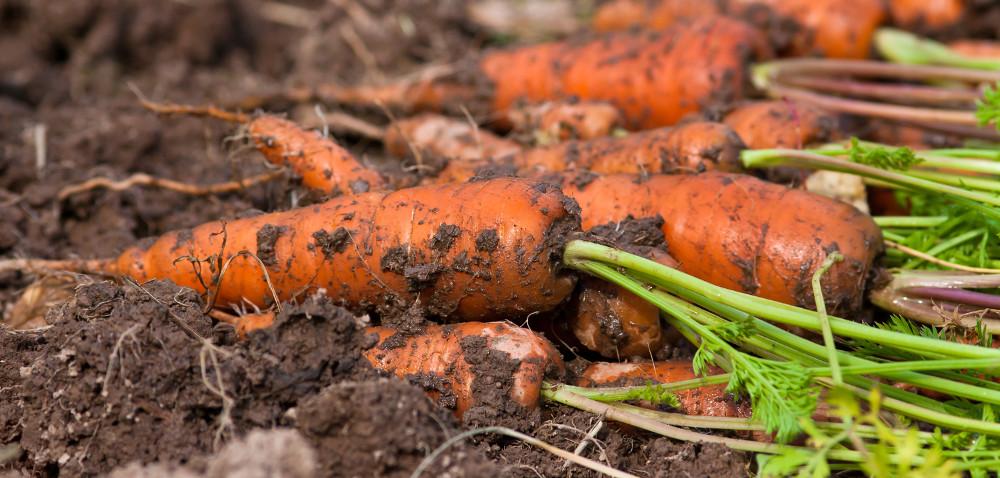 Ochrona warzyw korzeniowych przed chorobami