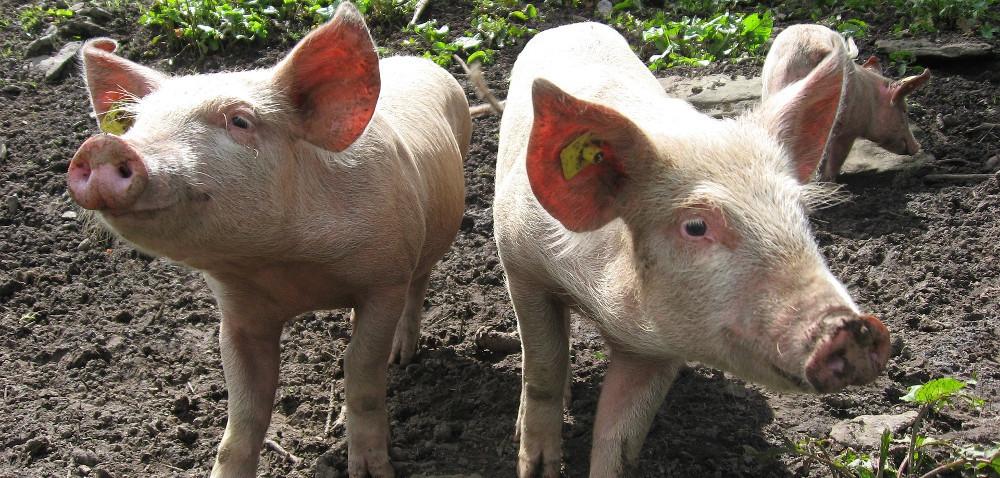 GUS do 18 marca bada pogłowie świń