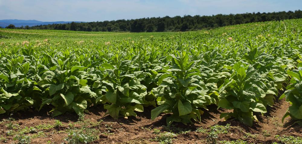 Tytoń już na polach! Jak zapowiadają się zbiory tytoniu?
