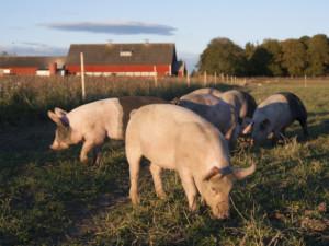 Spada pogłowie świń