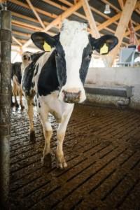 krowy na pastwisko