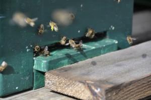 kradną pszczoły