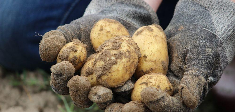 Ziemniaki: co jest winne spadkom produkcji?