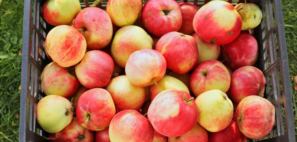 Jaka przyszłość małych sadów jabłoniowych?