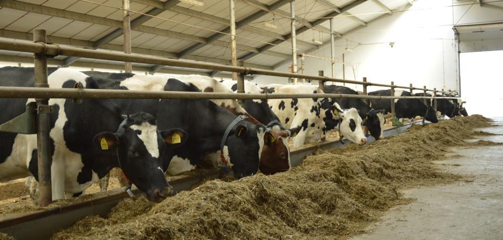 Czy można zaoszczędzić na żywieniu krów mlecznych?