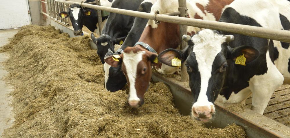 System TMR wżywieniu bydła