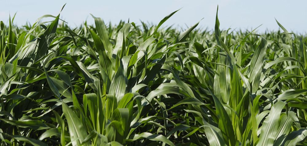 Jak dobrze wybrać odmianę kukurydzy?