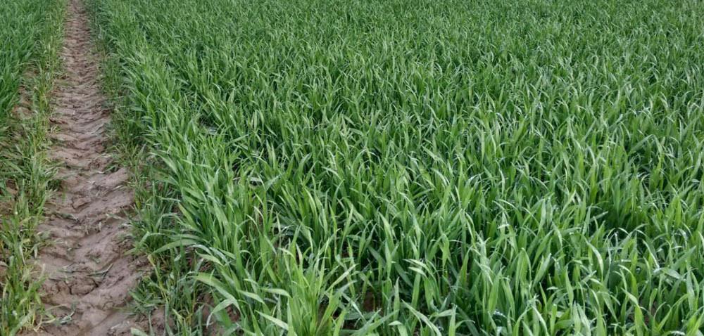 Zdaniem praktyków: Stan pszenicy ozimej