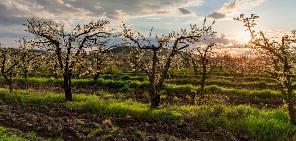 Wiosenne przymrozki zagrażają uprawom owocowym