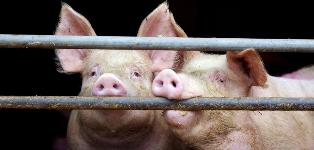 Drastyczny spadek whodowli świń
