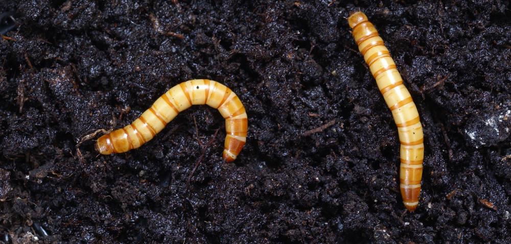 Uprawa bezorkowa korzystna dla szkodników glebowych