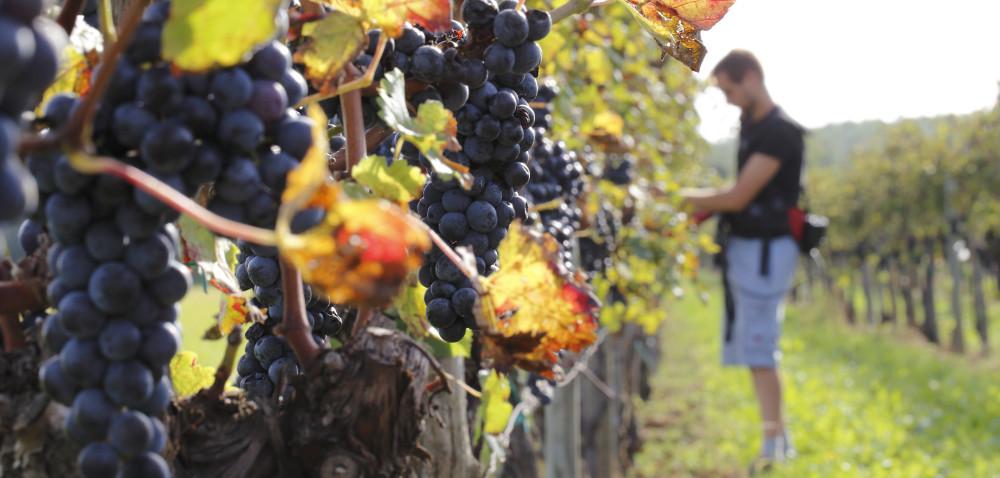 Czy winiarstwo jest szansą dla polskich rolników?