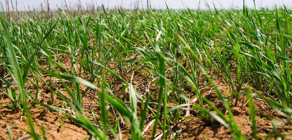 Przyszedł czas na regulację zbóż