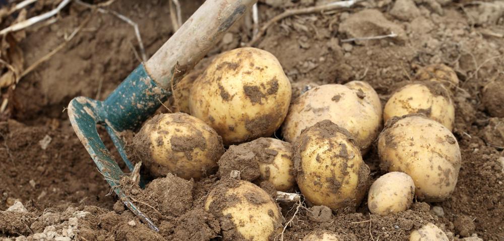 Dlaczego produkujemy coraz mniej ziemniaków?