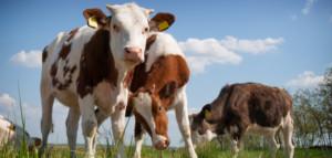 dobrostan krów
