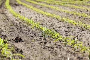 dokarmianie kukurydzy
