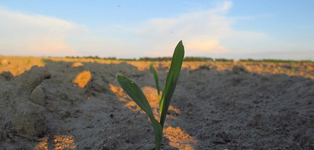 Kukurydza wstresie: jakie szkodniki przyjdą zfalą ciepła?